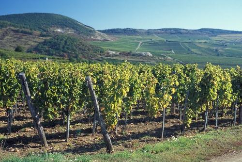 Hungary vineyard