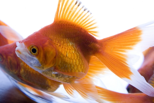 Health Benefits of Aquarium Fish