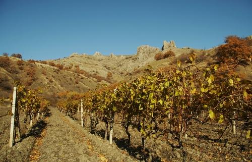 ukrainian vineyard