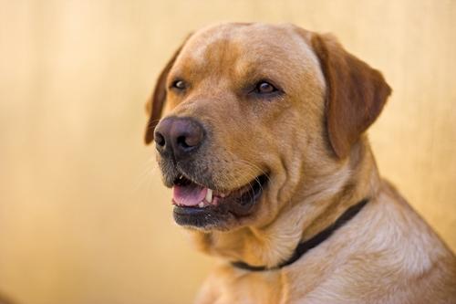 Labrador Retirever