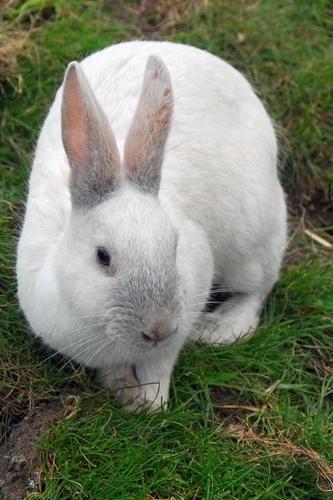 Choosing a Rabbit Breed