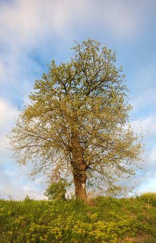 tree genes