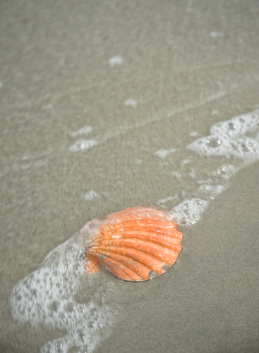 A seashell on the beach of Palau.