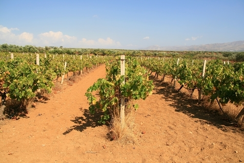 Israel vineyard