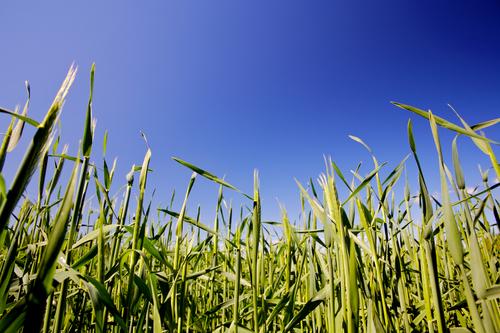 GM food